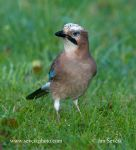 Photo of sojka Garrulus glandarius Jay Eichelhäher