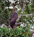 Photo of Spizaetus cirrhatus