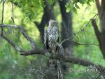 Photo of orel proměnlivý Spizaetus cirrhatus Crested hawk-Eagle Haubenadler