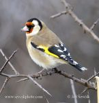 Photo of stehlík obecný Carduelis carduelis Goldfinch Stieglitz