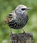 Photo of špaček obecný Sturnus vulgaris Starling Star