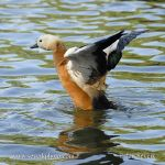 Photo of husice rezavá Tadorna ferruginea Ruddy Shelduck Rostgans