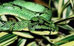 Photo of chřestýšovec Trimeresurus trigonocephalus Green Pit Viper, Lanzenotter