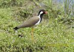 Photo of čejka černoprsá Vanellus indicus Red-wattled Lapwing