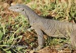 Photo of varan bengálský Varanus bengalensis Land Monitor Bengalvaran