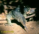 Photo of Varanus salvator