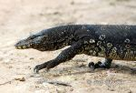 Photo of varan skvrnitý Varanus salvator Water Monitor Bindenwaran