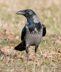 Photo of vrána obecná Corvus corone Hooded Crow Nebelkrahe