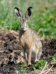 Photo of zajíc polní Lepus europaeus Brown Hare  Feldhase