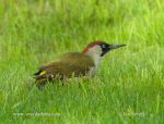Photo of žluna zelená Picus viridis European Green Woodpecker Grunspecht