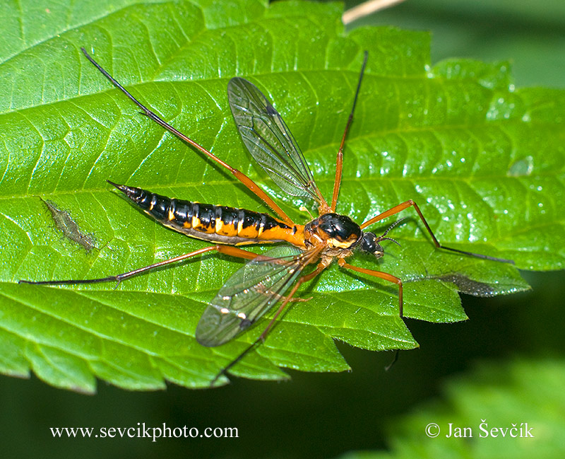 Photo of tiplice Ctenophora pectinicornis Cranefly Gelse
