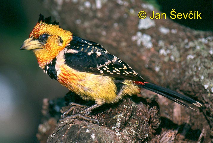 Photo of vousák vaillantii, Trachyphonus vaillantii, Crested Barbet, Haubenbartvogel
