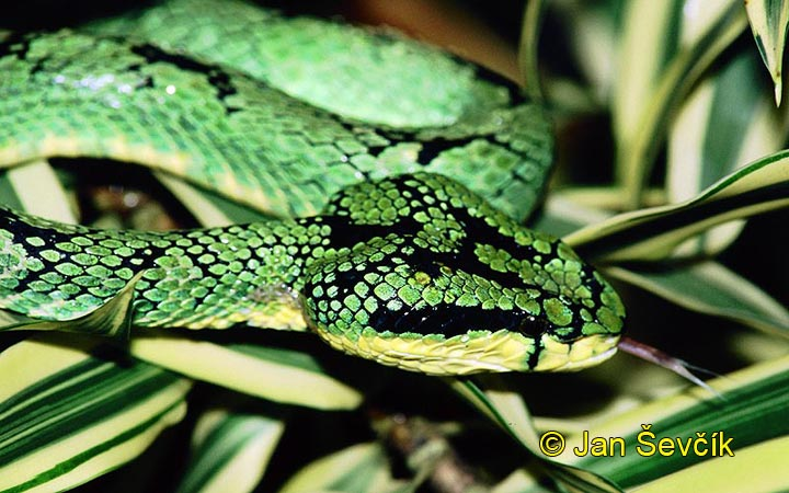 Photo of chřestýšovec Trimeresurus trigonocephalus, Green Pit Viper, Lanzenotter