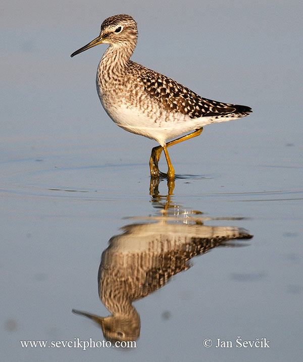 Photo of Vodouš bahenní Tringa glareola der Bruchwasserläufer Wood Sandpiper