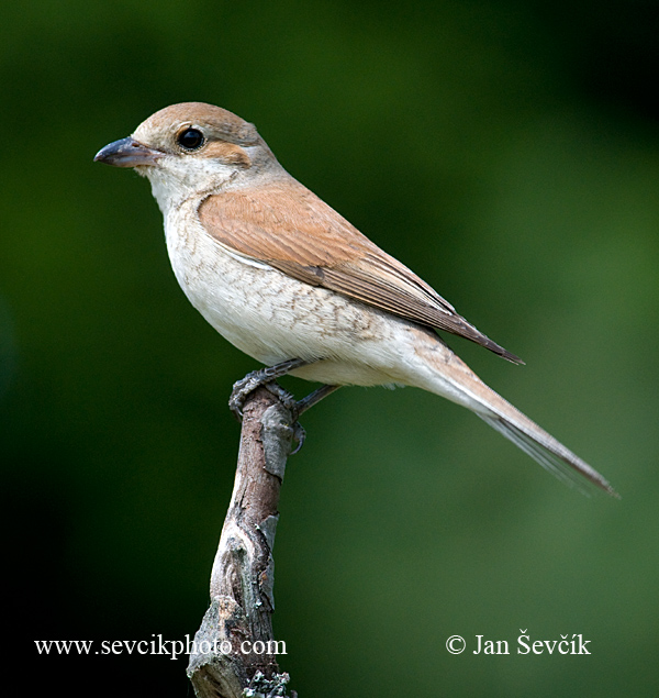 Photo of ťuhýk obecný Lanius collurio Red-backed Shrike Neuntöter