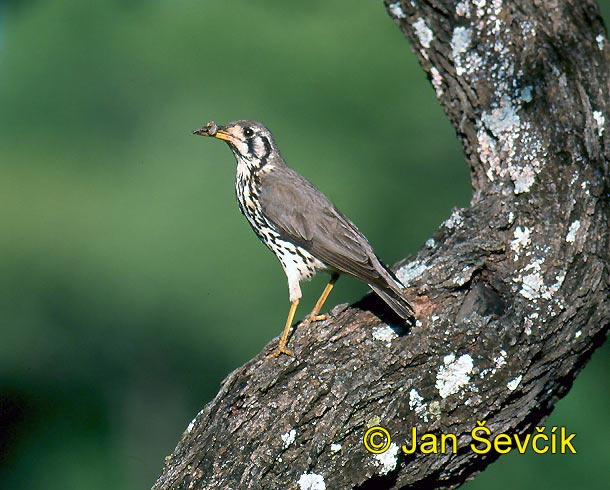 Photo of drozd hbitý, Turdus litsitsirupa, Groundscraper Thrush