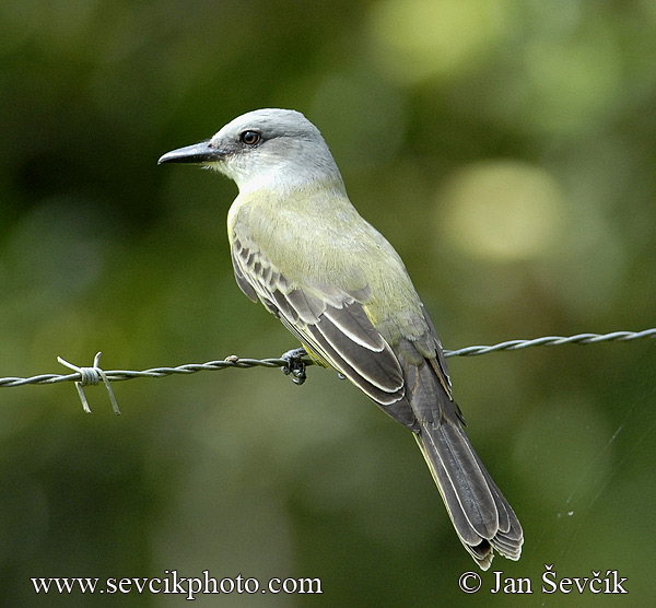 Photo of tyran tropický Tyrannus melancholicus Tropical Kingbird Tirano  tropical