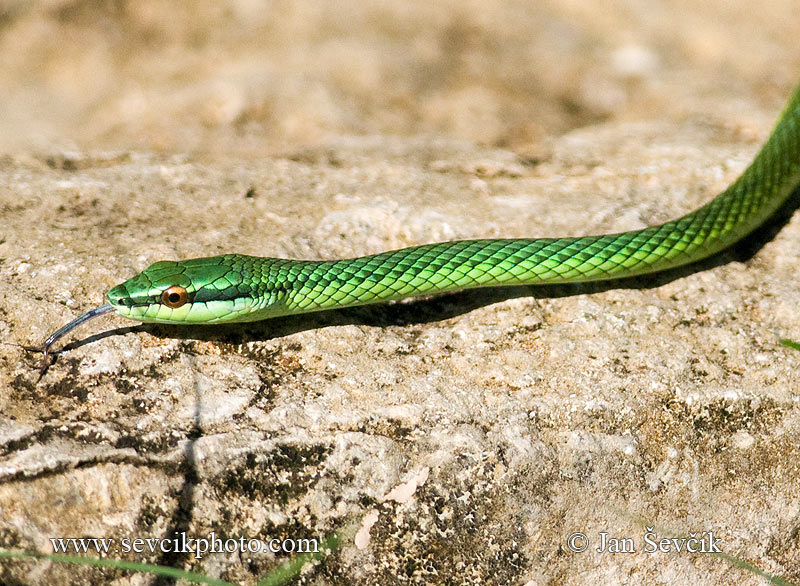 Photo of Bojga Uromacer catesbyi Green Tree Snake