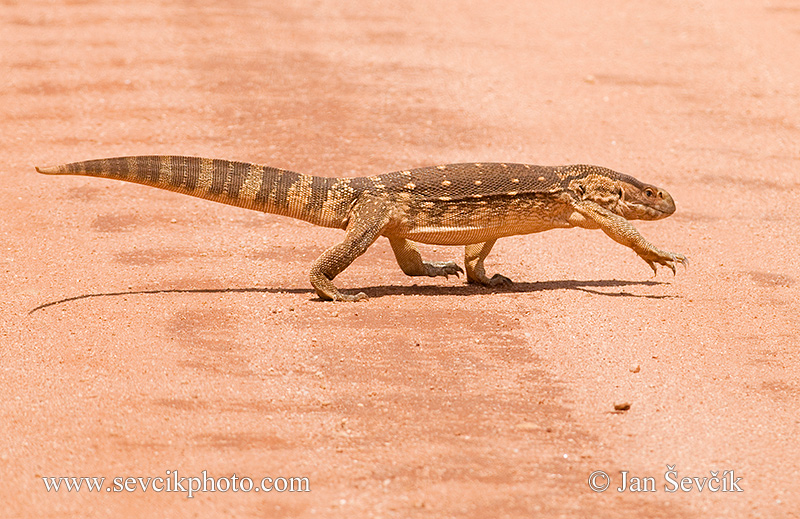 Photo of  varan stepní Varanus exanthematicus Savannah Monitor Steppenwaran