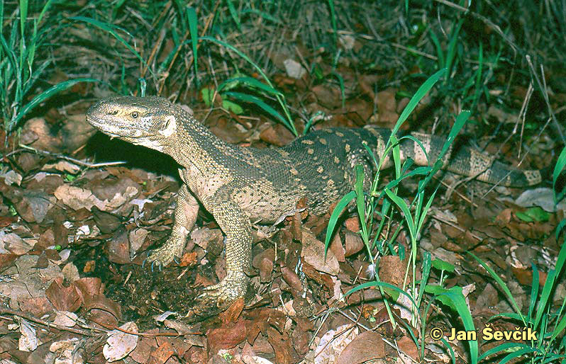 Photo of varan,  Varanus albigularis, South African White-throated Monitor.