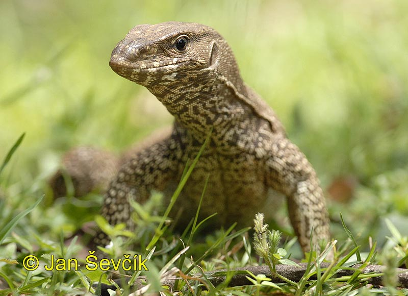 Photo of varan bengálský, Varanus bengalensis, Land Monitor, Bengalwaran