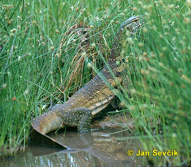 Photo of varan nilský, Nile Monitor, Nilwaran, Varanus niloticus