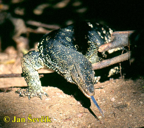 Photo of Photo of varan skvrnitý, Varanus salvator, Water monitor, Bindenwaran