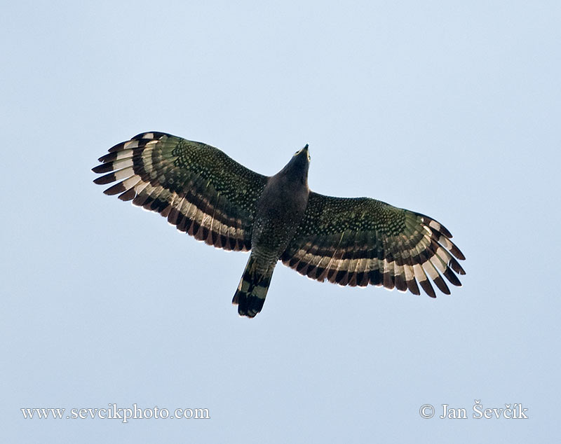 Photo of včelojed chocholatý Pernis ptilorhynchus Oriental Honey-buzzard
