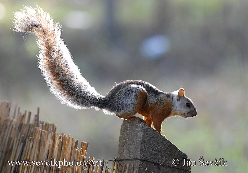 Photo of veverka proměnlivá Sciurus variegatoides Variegateo Squirrel Hornche