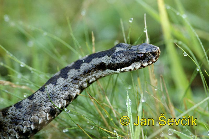 Photo of Vipera berus, Kreuzotter, Common Viper, zmije obecná