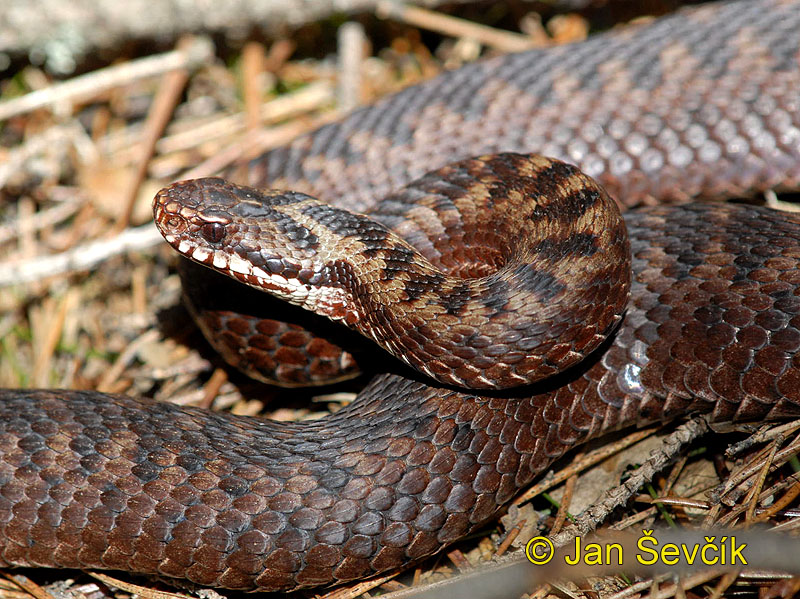 Photo of zmije obecná Vipera berus Kreuzotter Common Viper