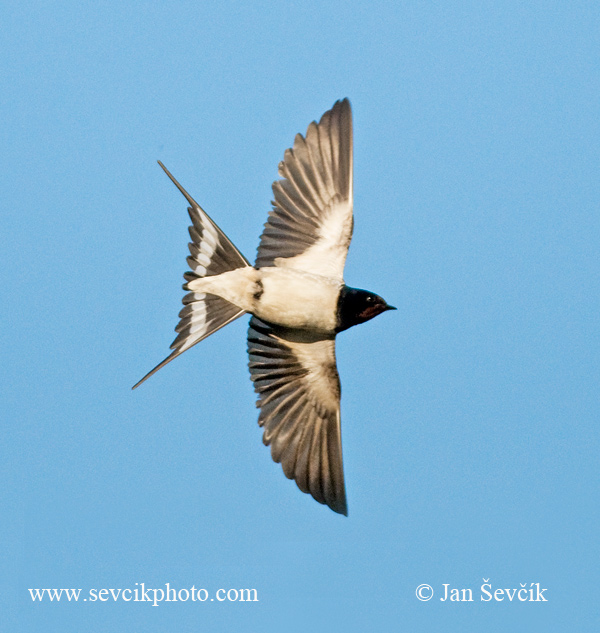 Photo of vlaštovka obecná Hirundo rustica Rauchschwalbe Barn Swallow