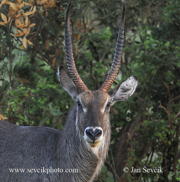 Photo of voduška znamenaná Waterbuck Wasserbock Kobus ellipsiprymnus