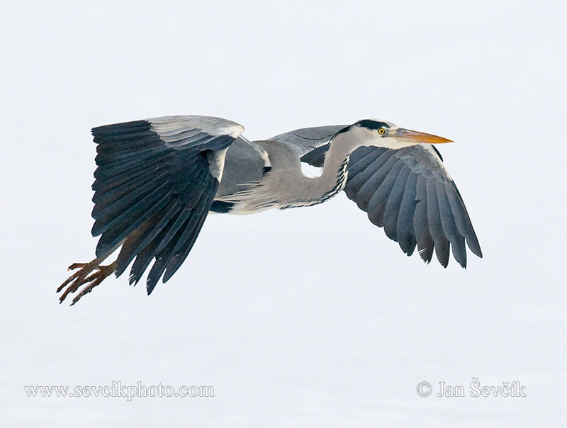 Photo of volavka popelavá Ardea cinerea Fischreiher Grey Heron