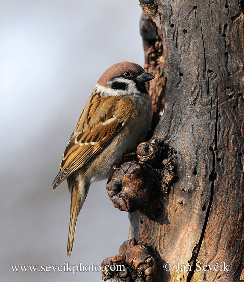 Photo of vrabec polní Passer montanus Tree Sparrow Feld Sperling