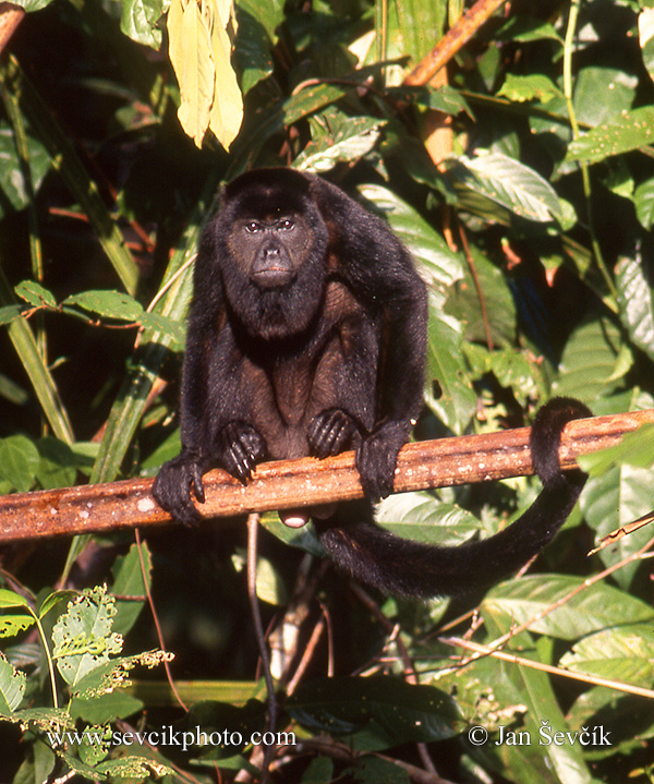 Photo of  vřešťan pláštíkový Alouatta palliata  Mantled howler monkey Mantelbrullaffe