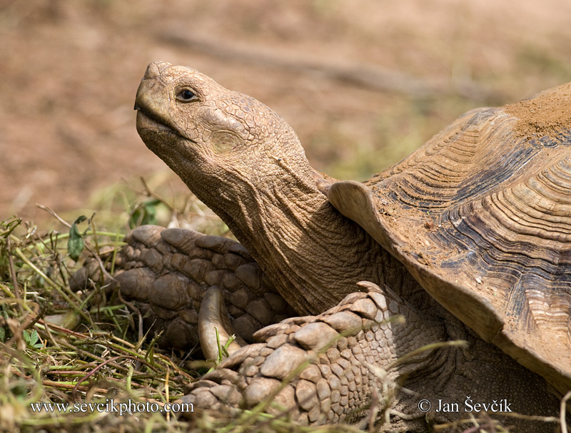 Photo of želva ostruhatá Geochelone sulcata African Spurred Tortoise Spornschildkrote