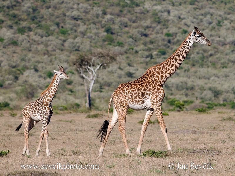 Photo of žirafa masajská Giraffa camelopardalis Giraffe Steppengiraffe