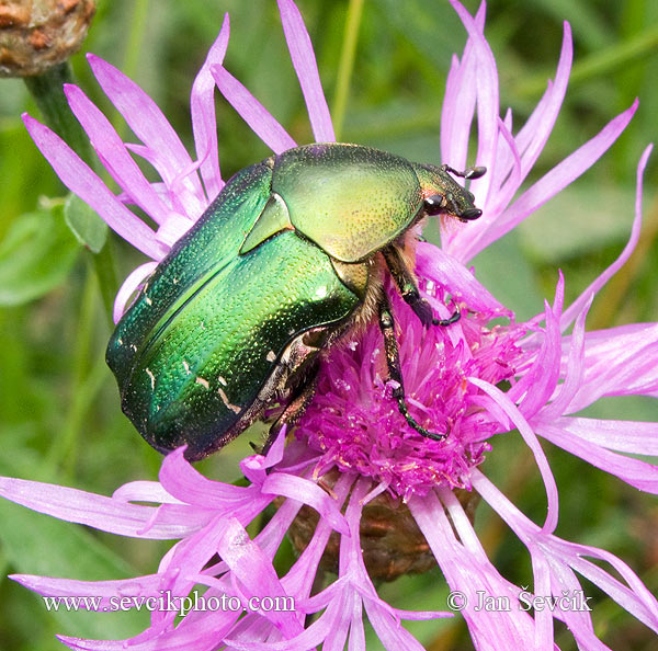 Photo of zlatohlávek zlatý Cetonia aurata Rose chafer Rosenkafer