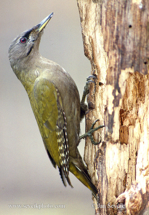 Photo of žluna šedá Picus canus Grey-headed Woodpecker Grauspecht